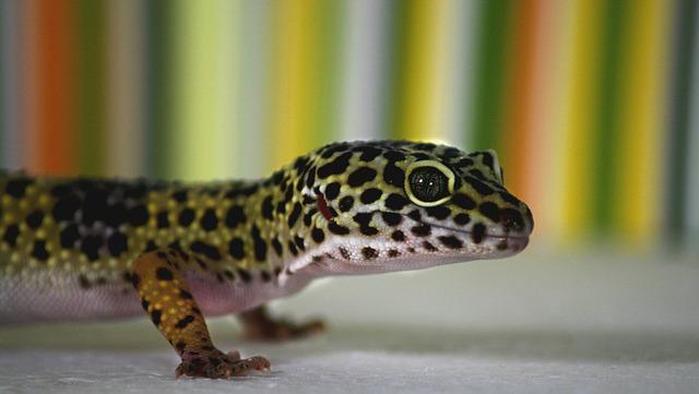 leopard-gecko-515491_640