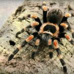 タランチュラを飼おう!ペットにオススメのタランチュラの種類と飼育方法を紹介