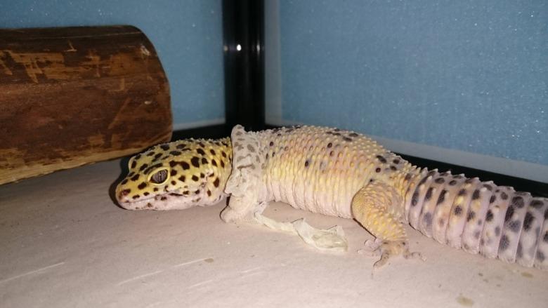 爬虫類 レオパ