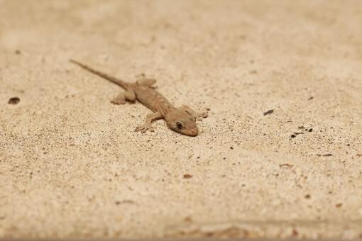 小さいイモリ