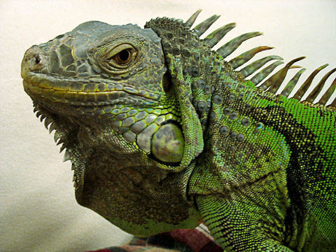 GreenIguana