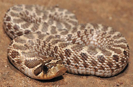 シシバナヘビの飼育方法や特徴・毒性・飼育に必要な設備を紹介!!